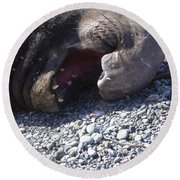 Elephant Seal Yawn Round Beach Towel