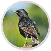 European Starling In A Tree Round Beach Towel