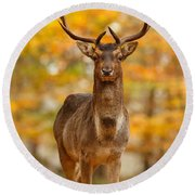 Fallow Deer In Autumn Forest Round Beach Towel
