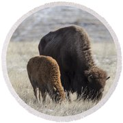 Bison Calf Having A Meal With Its Mother Round Beach Towel