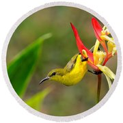 Female Olive Backed Sunbird Clings To Heliconia Plant Flower Singapore Round Beach Towel