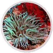 Round Beach Towel featuring the photograph Giant Green Sea Anemone Against Red Coral by Amy McDaniel