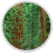 Giant Sequoias Sequoiadendron Gigantium Yosemite Np Ca Round Beach Towel