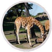 Giraffe Dsc2872 Long Round Beach Towel