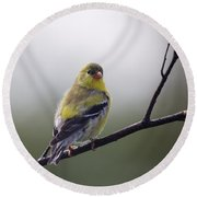 Round Beach Towel featuring the photograph Goldfinch Molting To Breeding Colors by Susan Capuano