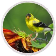 Round Beach Towel featuring the photograph Goldfinch Pose by Dianne Cowen