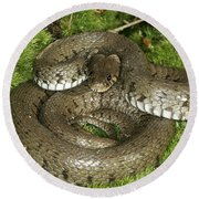 Grass Or Ringed Snake Round Beach Towel