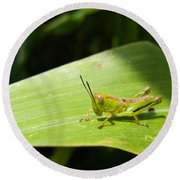 Grasshopper On Corn Leaf   Round Beach Towel