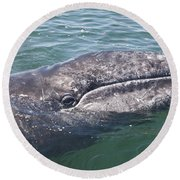 Gray / Grey Whale Eschrichtius Robustus Round Beach Towel by Liz Leyden