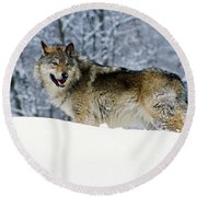 Gray Wolf In Snow, Montana, Usa Round Beach Towel