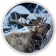 Round Beach Towel featuring the photograph Grazing Elk by Michael Chatt