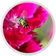 Green Bottle Fly On Dianthus  Round Beach Towel