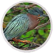 Green Heron Breeding Colors Round Beach Towel by Larry Nieland