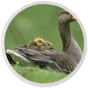 Greylag Goose And Goslings Round Beach Towel