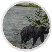 Grizzly Bear Late September 5 Round Beach Towel