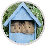Guinea Pig In House Gp104 Round Beach Towel by Greg Cuddiford