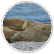 Herd Of Walrus Odobenus Rosmarus Round Beach Towel
