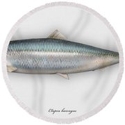 Herring  Clupea Harengus - Hareng - Arenque - Silakka - Aringa - Seafood Art Round Beach Towel