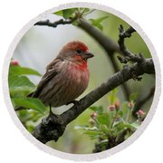 House Finch In Apple Tree Round Beach Towel