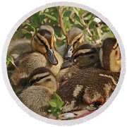 Round Beach Towel featuring the photograph Huddled Ducklings by Kate Brown