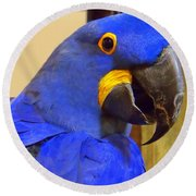 Hyacinth Macaw Portrait Round Beach Towel