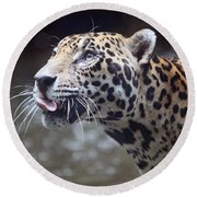 Round Beach Towel featuring the photograph Jaguar Sticking Out Tongue by Shoal Hollingsworth