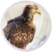 Juvenile Bald Eagle In Homer Alaska Round Beach Towel
