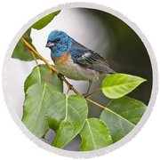 Lazuli Bunting 3a Round Beach Towel by Sharon Talson