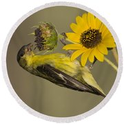 Lesser Goldfinch On Sunflower Round Beach Towel