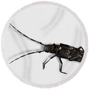 Long-hornded Wood Boring Beetle Monochamus Sartor - Coleoptere Monochame Tailleur - Round Beach Towel