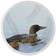 Loon Chicks Cruising With Mom Round Beach Towel