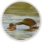Loon Feeding Chick Round Beach Towel
