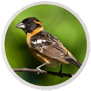 Male Black Headed Grosbeak In A Tree Round Beach Towel
