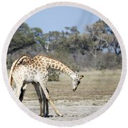 Round Beach Towel featuring the photograph Male Giraffes Necking by Liz Leyden
