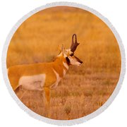 Male Pronghorn On The Prowl Round Beach Towel