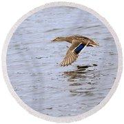 Mallard Duck Female In Flight Round Beach Towel