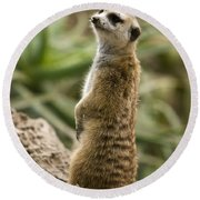 Round Beach Towel featuring the photograph Meerkat Mongoose Portrait by David Millenheft