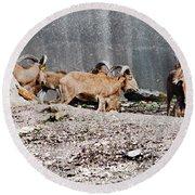 Meeting Of Barbary Sheep Round Beach Towel