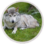 Round Beach Towel featuring the photograph Mexican Gray Wolf by Sebastian Musial