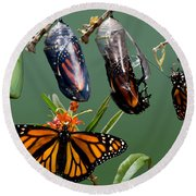 Monarch Butterfly Growth Sequence Round Beach Towel
