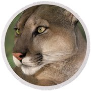 Mountain Lion Portrait Wildlife Rescue Round Beach Towel