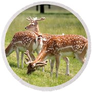 Round Beach Towel featuring the photograph Multitasking Deer In Richmond Park by Rona Black