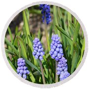 Muscari Armeniacum Round Beach Towel by Felicia Tica
