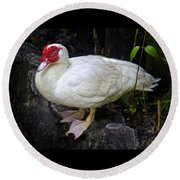 White Muscovy Duck Round Beach Towel by Venetia Featherstone-Witty