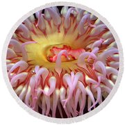 Round Beach Towel featuring the photograph Northern Red Anemone by Robert Meanor