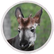 Round Beach Towel featuring the photograph Okapi #2 by Judy Whitton