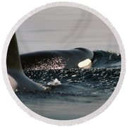 Round Beach Towel featuring the photograph Orcas/killer Whales Off The San Juan Islands 1986 by California Views Mr Pat Hathaway Archives