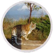 Out Of Africa  Tiger 1 Round Beach Towel