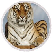 Out Of Africa Tiger 4 Round Beach Towel
