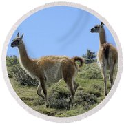 Patagonian Guanacos Round Beach Towel by Michele Burgess